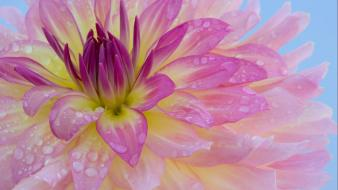 Flowers pink purple water drops macro wallpaper