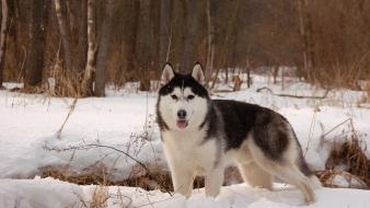 Forests animals dogs husky huskies wallpaper