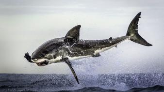 Ocean jumping sharks predators wallpaper