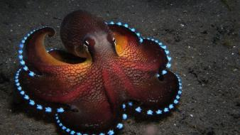 Ocean octopuses sealife cephalopod wallpaper