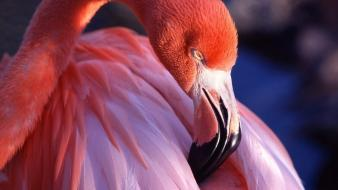 Pink birds animals flamingos wallpaper