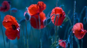 Poppies florianchin wallpaper