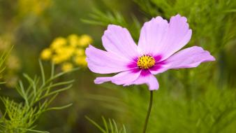 Purple cosmos flower wallpaper