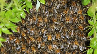 Swarm insects bees Wallpaper