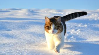 Winter snow cats animals wallpaper