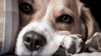 Animals dogs beagle pets miss you wallpaper