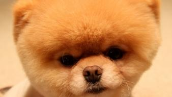 Animals dogs head pets pomeranian boo wallpaper