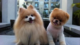 Animals dogs pets pomeranian boo buddy Wallpaper
