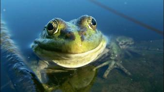 Animals frogs wallpaper