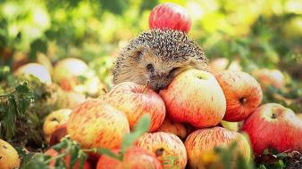 Animals hedgehogs apples wallpaper