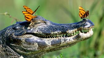 Animals insects crocodiles jaws reptiles butterflies wallpaper