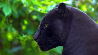 Animals jaguar black panther wallpaper