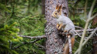 Animals nature pine trees squirrels wallpaper