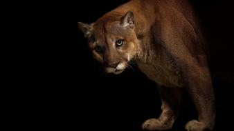Animals puma cougars Wallpaper