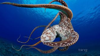 Bing hawaii ocean octopuses underwater Wallpaper