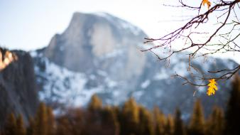 California branches blurred background yosemite national park wallpaper