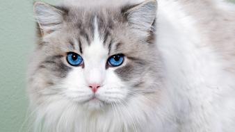 Cat blue eyes wallpaper