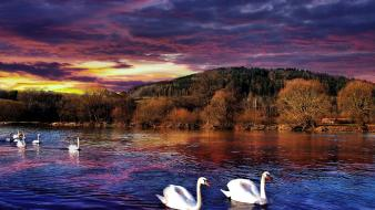 Clouds nature animals swans skies Wallpaper