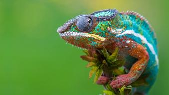 Colorful chameleon pictures wallpaper