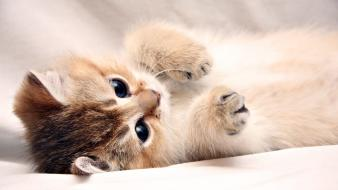 Cute kitten sleeping Wallpaper