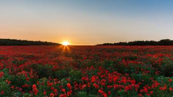 Fields poppies red flowers sun flare wallpaper