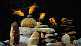 Goldfish aquarium fish tank wallpaper