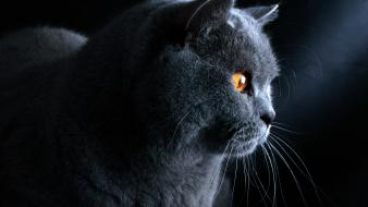Grey british shorthair cat wallpaper