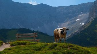 Landscapes nature animals cows Wallpaper