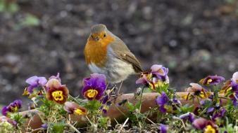 Nature flowers birds robins Wallpaper