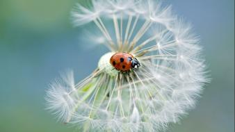 Nature flowers lady bugs petal wallpaper