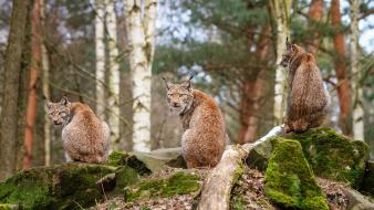 Nature forests animals lynx wallpaper