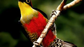 Nature red yellow birds animals wildlife feathers branch Wallpaper