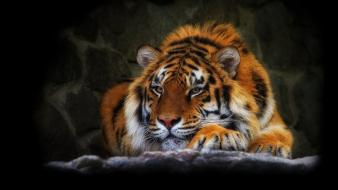 Predator animals tigers wildlife wallpaper