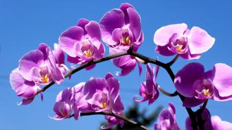 Purple orchid flowers wallpaper
