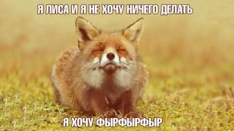 Russian animals foxes meme red fox Wallpaper