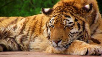 Sleeping tiger pictures Wallpaper
