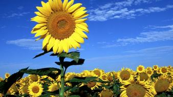 Spring sun flowers Wallpaper