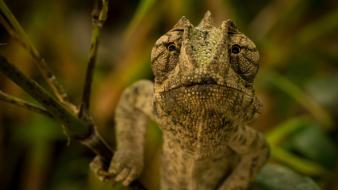 Animals chameleons camouflage wallpaper