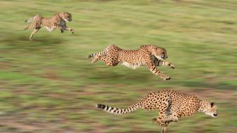 Animals cheetahs nature speed Wallpaper