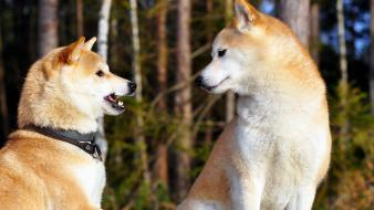 Animals dogs shiba inu wallpaper