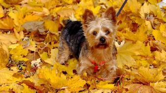 Animals dogs yorkshire terrier pets fallen leaves Wallpaper