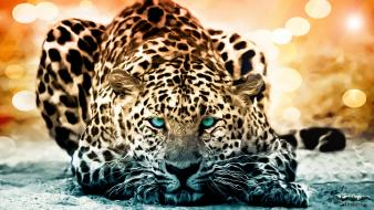 Animals feline leopards nature spotted Wallpaper