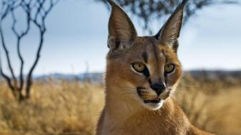 Animals namibia caracal bing blurred background wallpaper