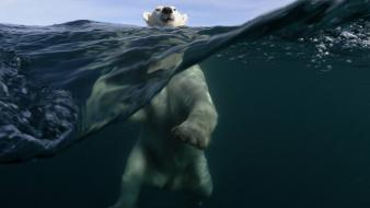 Animals swimming underwater polar bears split-view sea wallpaper