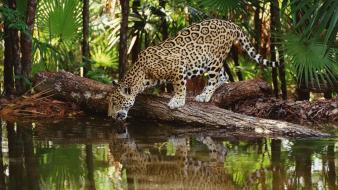 Belize jaguar jaguars wildlife wallpaper