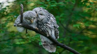 Birds animals estonia owls branch Wallpaper