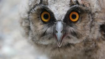 Birds yellow eyes owls wallpaper