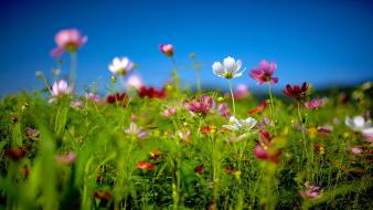 Cosmos flower depth of field flowers grass multicolor wallpaper
