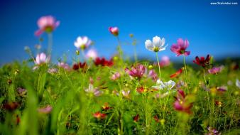 Cosmos flower multicolor nature plants spring Wallpaper
