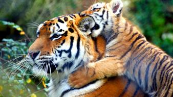 Family animals tigers cubs baby Wallpaper